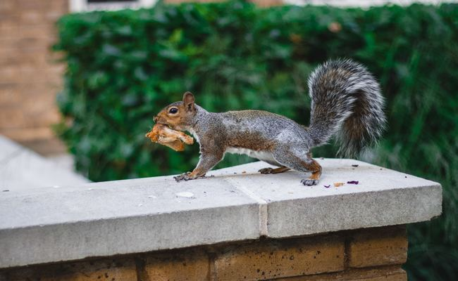 Squirrel With Food In Its Mouth