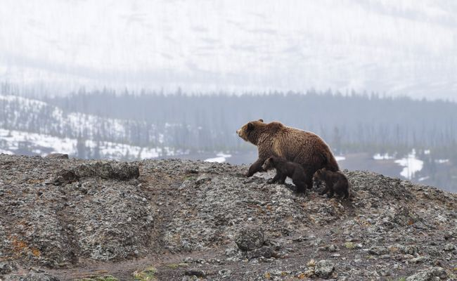 Female Bear With Cubs